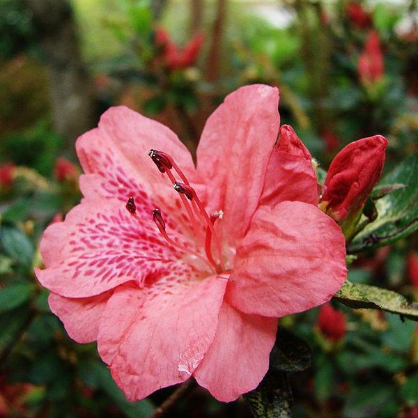 azalea_flower
