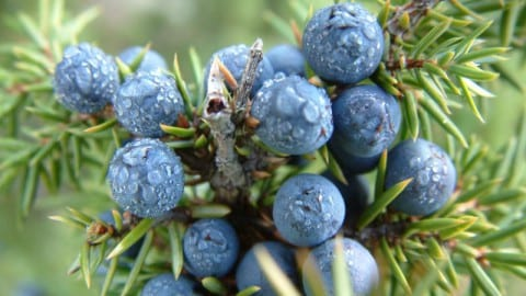 Cedar Berries