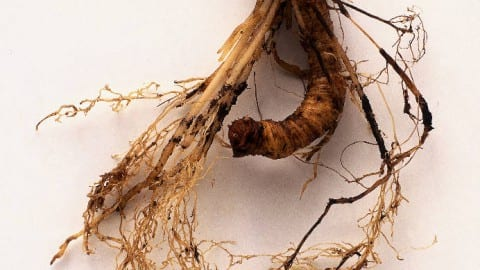 False Unicorn Root